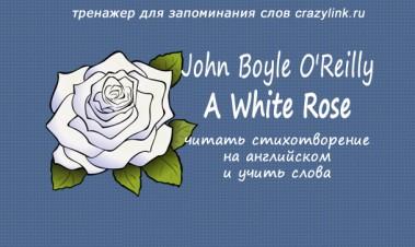 J.B. OReilly - A White Rose